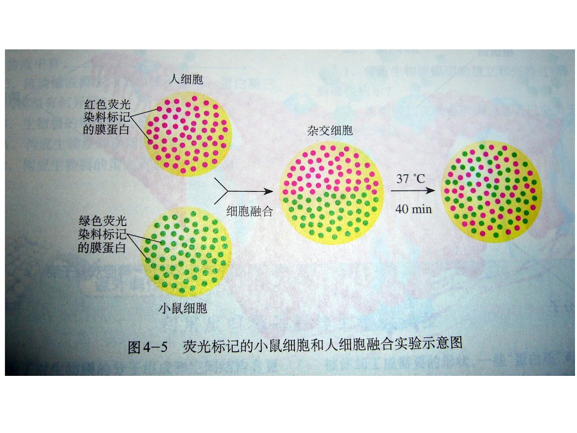 2.2动物细胞融合与单克隆抗体 (2).ppt