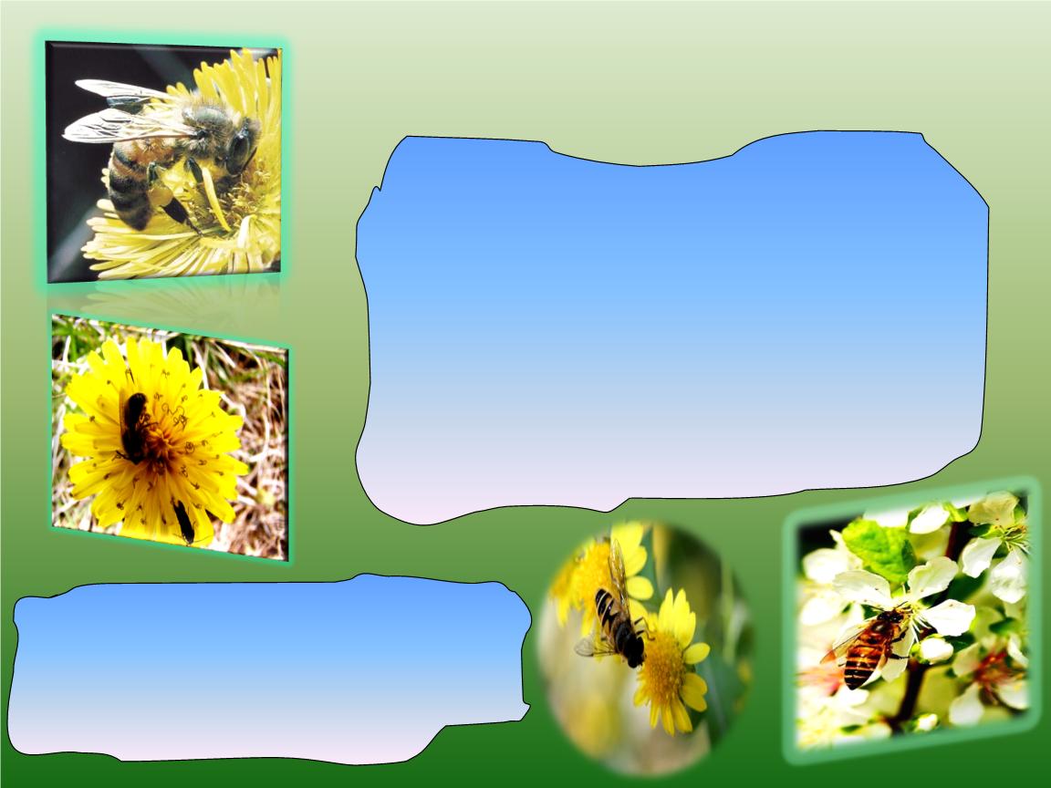 我喜欢的昆虫—蜜蜂.ppt